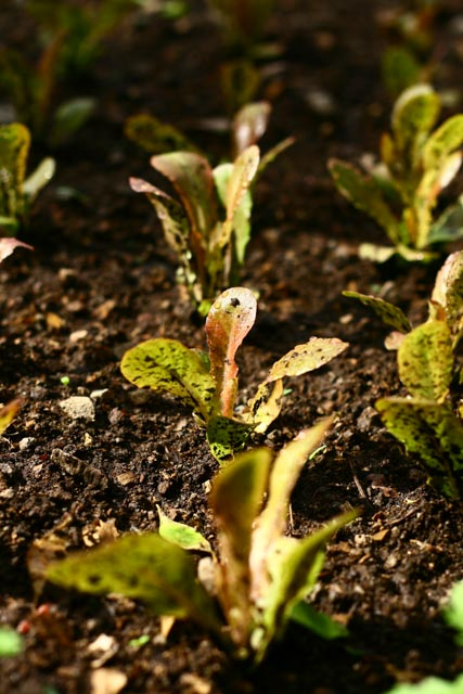 Atitlan Organics Lettuce