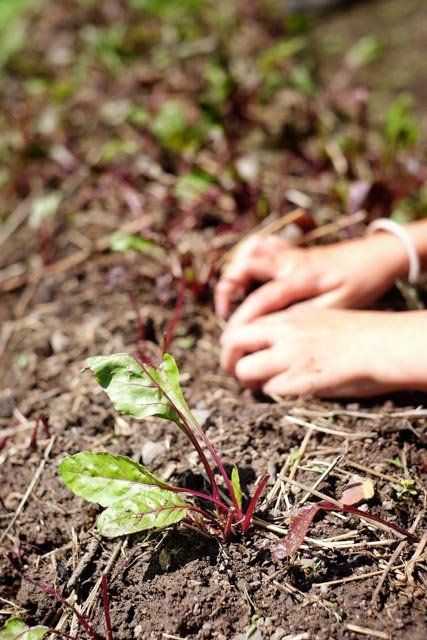 Lettuce Planting Atitlan Organics