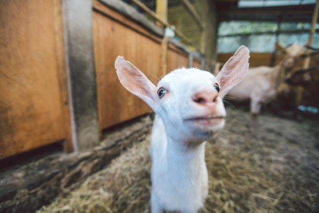 Goat Cheese, Feta