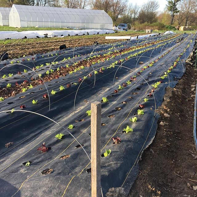 Year three for these pieces of landscape fabric that will keep things tidy for another long season. Peppers will fill the center holes in between these lettuces in the coming weeks. #cheapfarminfrastructure