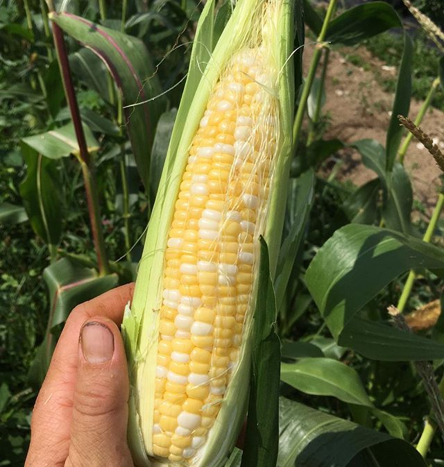Well, we may not be your season-long source for sweet corn, but this crop is sure to satisfy for the next few markets #allureorganic #mofgaorganic #johnnyseeds