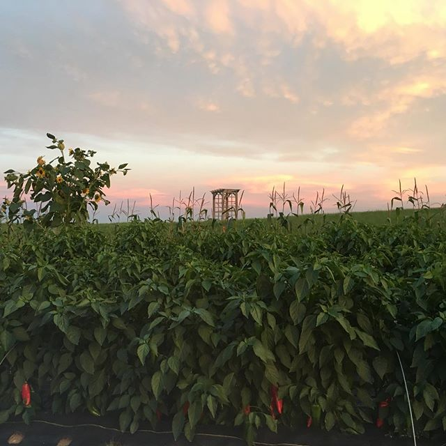 Fully-ripe, super-sweet peppers filling the horizon—must be September! #cornoditoro #mofgaorganic #septemberinmaine