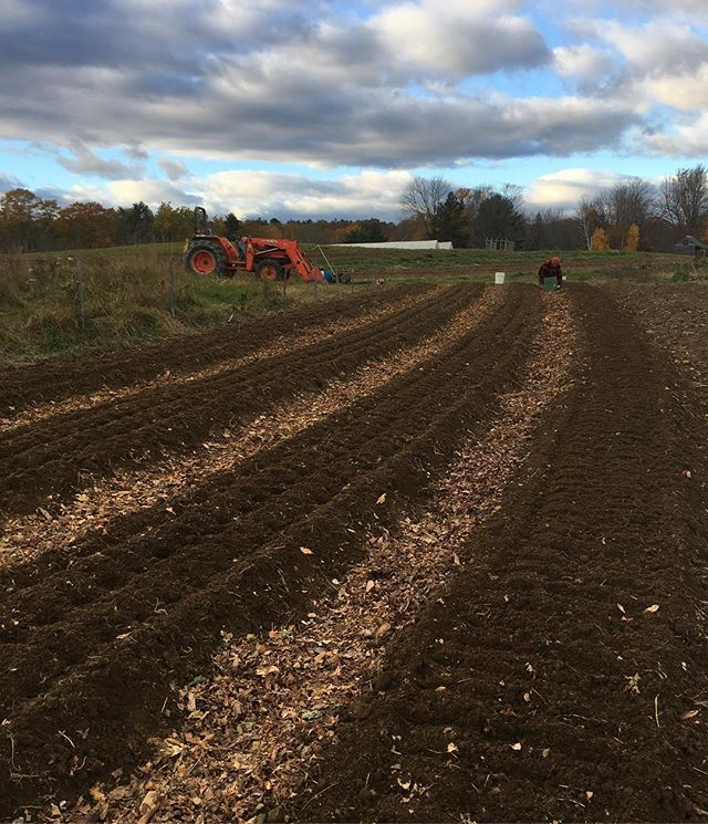 Better late than never for this garlic plot. 4000 cloves in and a few more to go before the next wet spell. #seedstock #contourbeds