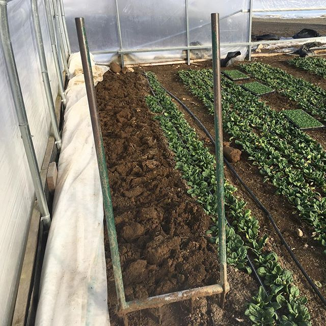 Reclaiming tunnel edges from the permafrost thanks to a welcome February thaw. We're planting hardy Feltsalat (aka mache) here tomorrow  hoping it will be a good candidate for the cold that will surely creep back in. #feltsalat #winterspinach #fourseasongreens