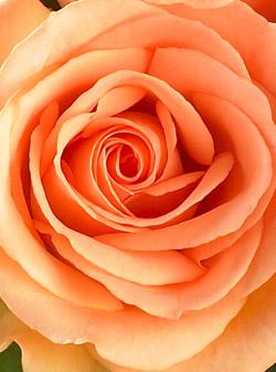 peach-roses-1dz-1