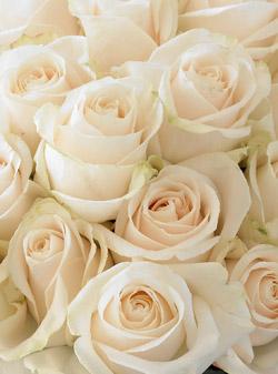 vendela-roses-2