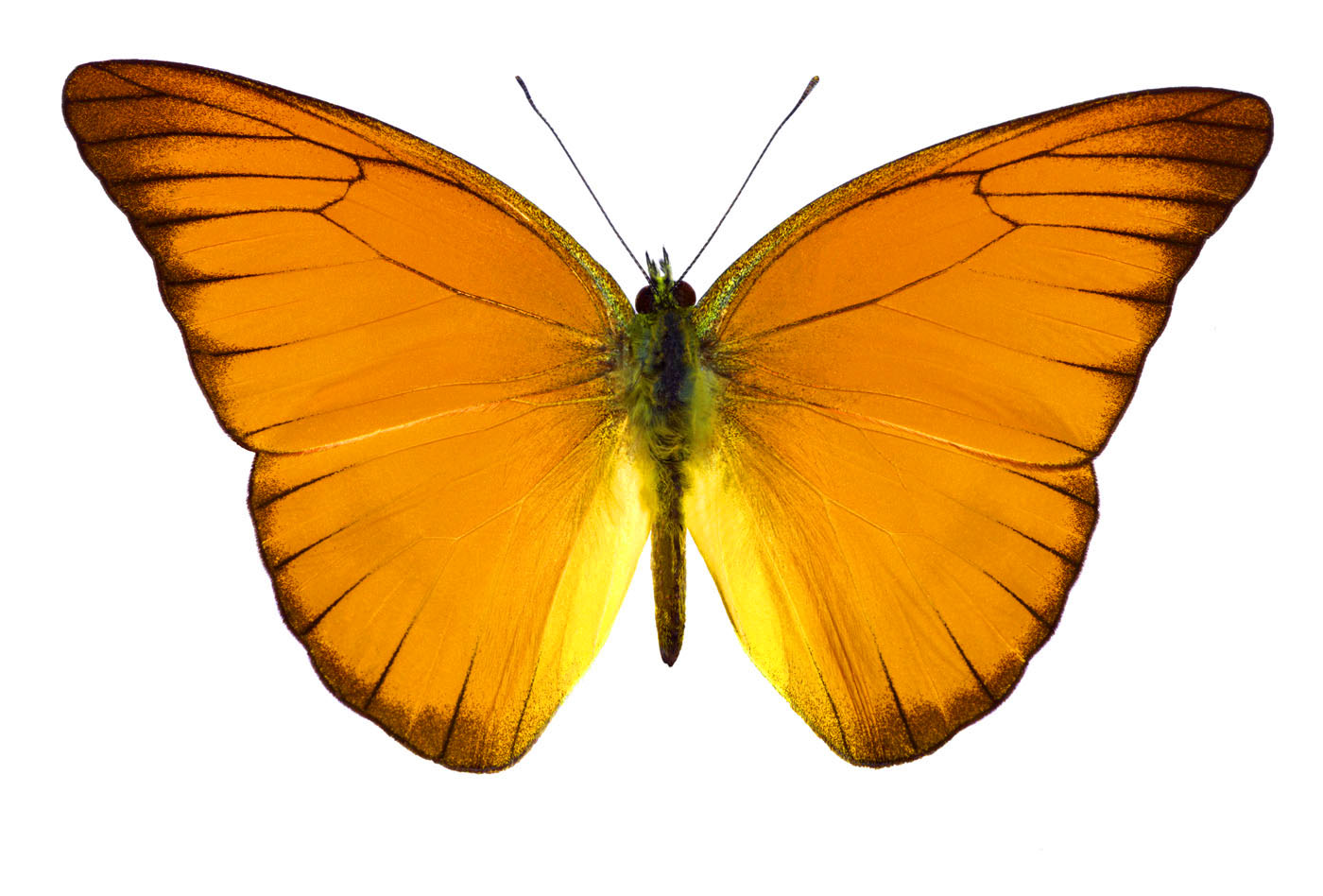WF-Orange-Butterfly-copy