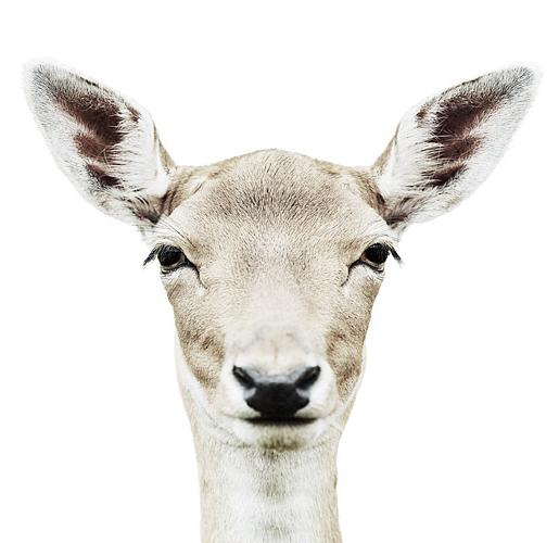 Koldby-Deer02