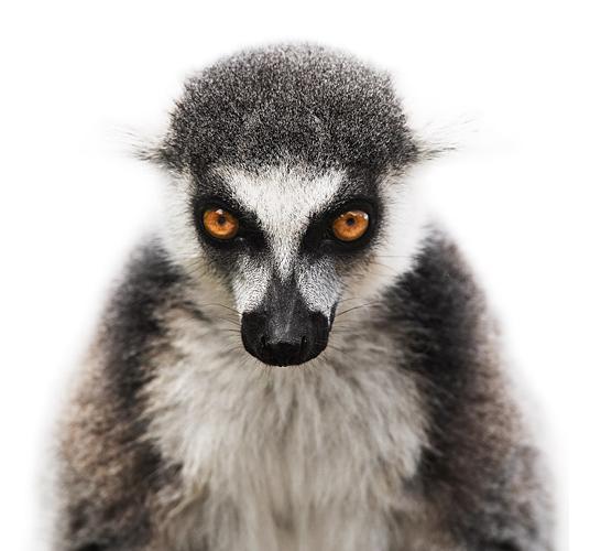 Koldby-Lemur01