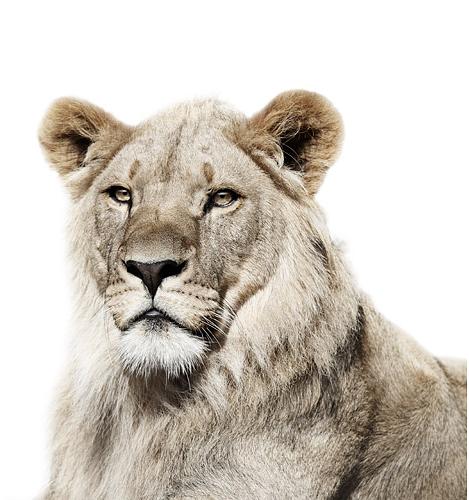 Koldby-Lion02