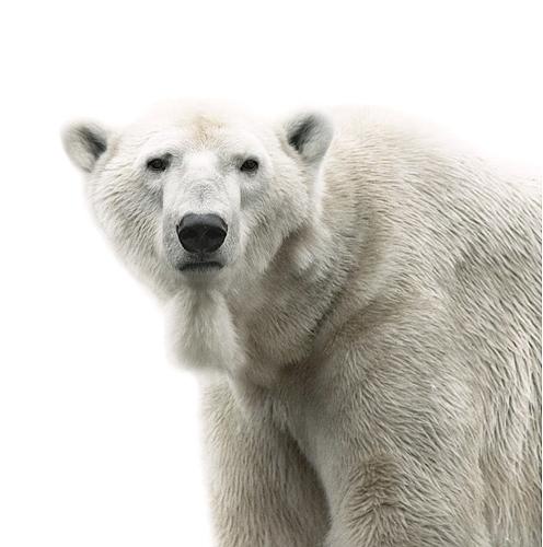 Koldby-Polarbear01
