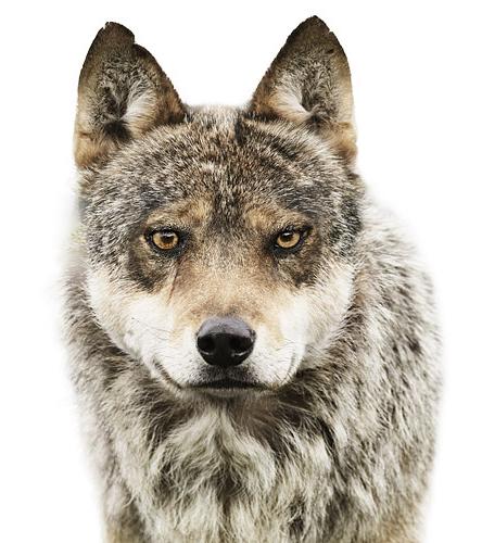 Koldby-Wolf01