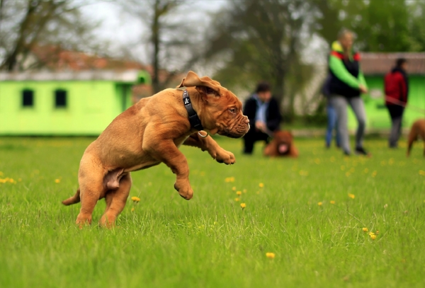 Muscular breeds such as mastiffs are more likely to pull a muscle during exercise.