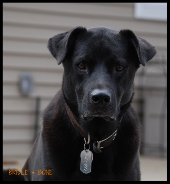 Gonzo is a 5 year old Lab mix.