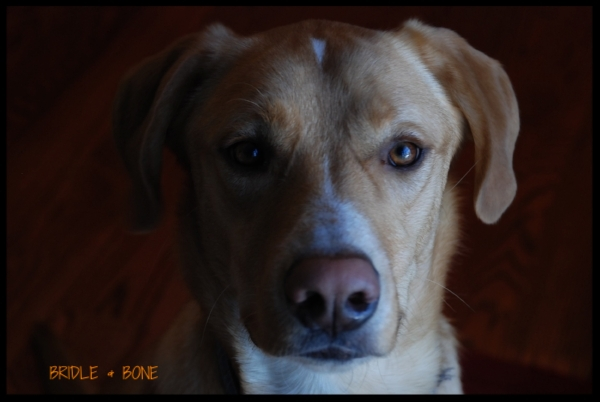 Beau is a 2 year old Anatolian Shepherd mix.