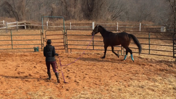 His owner, Robin Brennan, works with Delight to get out some of his excess energy before my lesson.