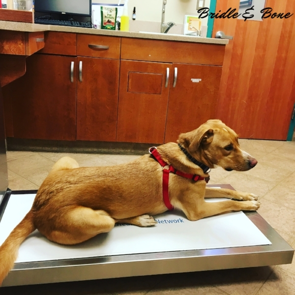 Beau waits patiently for his veterinarian to come in and give him his exam and annual vaccinations.