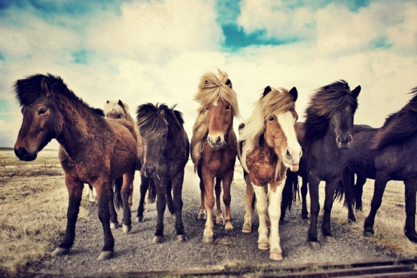 Icelandic horses are a sturdy, gentle breed that have a unique gait called the tolt. They are the only horse breed existing in Iceland.