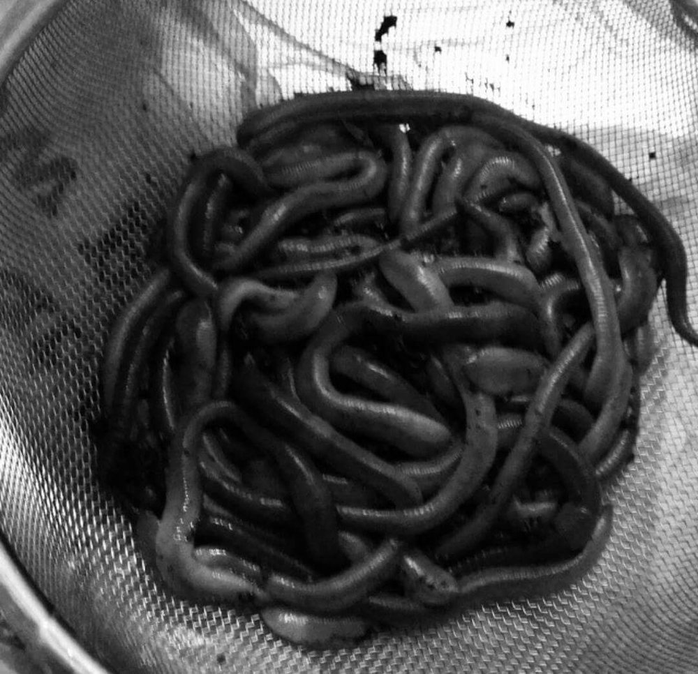 Earth Worms for the Heart Shaped Box