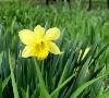small daffodil.jpg