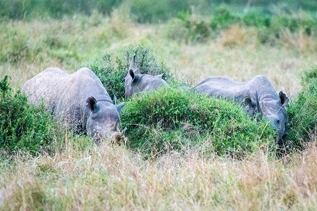Not the greatest photo but spotting 4 Black Rhinos in the wild is like winning the lottery. (3 pictured)