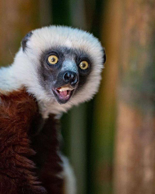 The dancing lemur aka Verreaux's sifaka.