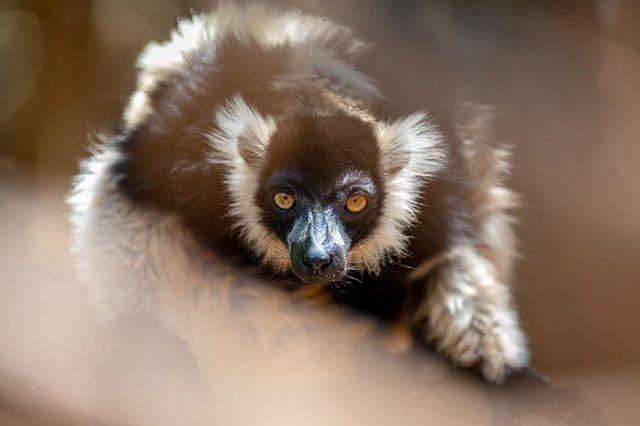 The black lemur