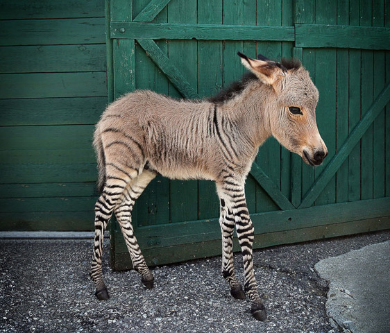 "The US political system continues to debate the merits of income versus consumption taxes.  The current US income tax is a hybrid with many consumption tax elements (e.g. exempt capital income, immediate expensing of many investments).  Thus, it is like the Zonkey pictured above: half zebra, half donkey.  Most hybrid animals are infertile.  Similarly, hybrid tax systems are also difficult to sustain politically. The House Republican's 2016 Better Way tax plan was designed to move toward a consumption-based tax in the guise of a business income tax.  Thus, it had border adjustments consistent with a destination-based value-added tax, while claiming to fall only on economic ""rents"" of business owners.  Although based along the lines of David Bradford's X-Tax, which was designed to be a more progressive consumption tax with a business cash-flow tax combined with a progressive wage tax, the House Republican proposal only included the business cash-flow tax in combination with the current hybrid personal income tax.  Thus, it was a Zonkey proposal and wasn't sustainable politically.  Michigan's former Single Business Tax (SBT) is another example of political unsustainability of a Zonkey tax.  The State of Michigan replaced its state corporate income tax (and six other business taxes) with an additive method value-added tax imposed on all forms of business entities, the SBT, in 1976.  The SBT, similar to other consumption taxes, provided no business deduction for employee compensation, which usually accounts for 70% of value-added. Labor-intensive businesses didn't like the SBT because they couldn't deduct employee compensation, which they argued was inconsistent with income taxation. Companies complained that they had to pay SBT when not earning profits, which is to be expected with a consumption tax.  Michigan's use of both a retail sales tax and an entity-level VAT created another political tension.  Michigan politicians were whip-sawed between consumption tax and income tax arguments, so provided generous deductions for certain labor-intensive businesses.  While the tax was operational in different forms for 45 years, the mixture of consumption tax and income tax concepts, combined with the uniqueness of the tax, made it increasingly difficult to defend.  It was repealed in 2007 and Michigan returned to a business income tax in combination with a modified gross receipts tax. The current US tax reform debate has resulted in confusion about how to tax business income.  The debate about the ""border adjustment tax"" and proposals to eliminate interest deductions reflect the Zonkey nature of many hybrid tax proposals.  A general limitation on business interest deductions is consistent with consumption taxation, but inconsistent with income taxation, except in narrow cases of excess leverage in multinational subsidiaries or debt financing of tax-favored investments.  Most tax systems have some hybrid features, but the political debates and economic analyses underpinning them would be clearer if purer income and consumption taxes were debated.  Almost all other countries have both income and consumption taxes, and can adjust the relative mix by modifying the tax rates rather than Zonkifying either tax base. The US' aversion to politically considering a federal general consumption tax, such as a value-added tax, results in veiled attempts to adopt variants of indirect or entity-level consumption taxes with income tax sounding names, or further eroding the income tax base.  Instead of trying to back into a consumption tax by destroying fundamental features of the corporate and individual income tax, federal policymakers should specifically debate the merits of a general consumption tax and a broad-based income tax.  The initial 1984 US Treasury tax reform proposal concluded that a broad-based, lower-rate income tax was preferred to a consumption tax, which was the end result in the 1986 Tax Reform Act.  Thirty years later with growing long-term fiscal deficits and a more competitive global economy, a broad-based consumption tax may be needed, in addition to a broader-base lower-rate income tax.  Loading the current income tax up with consumption tax features (expensing of capital investment, lower tax rates on capital income, a general interest disallowance or a VAT-like border adjustment) is a Zonkey tax policy with undesirable consequences.   Tom Neubig and Bob Cline"