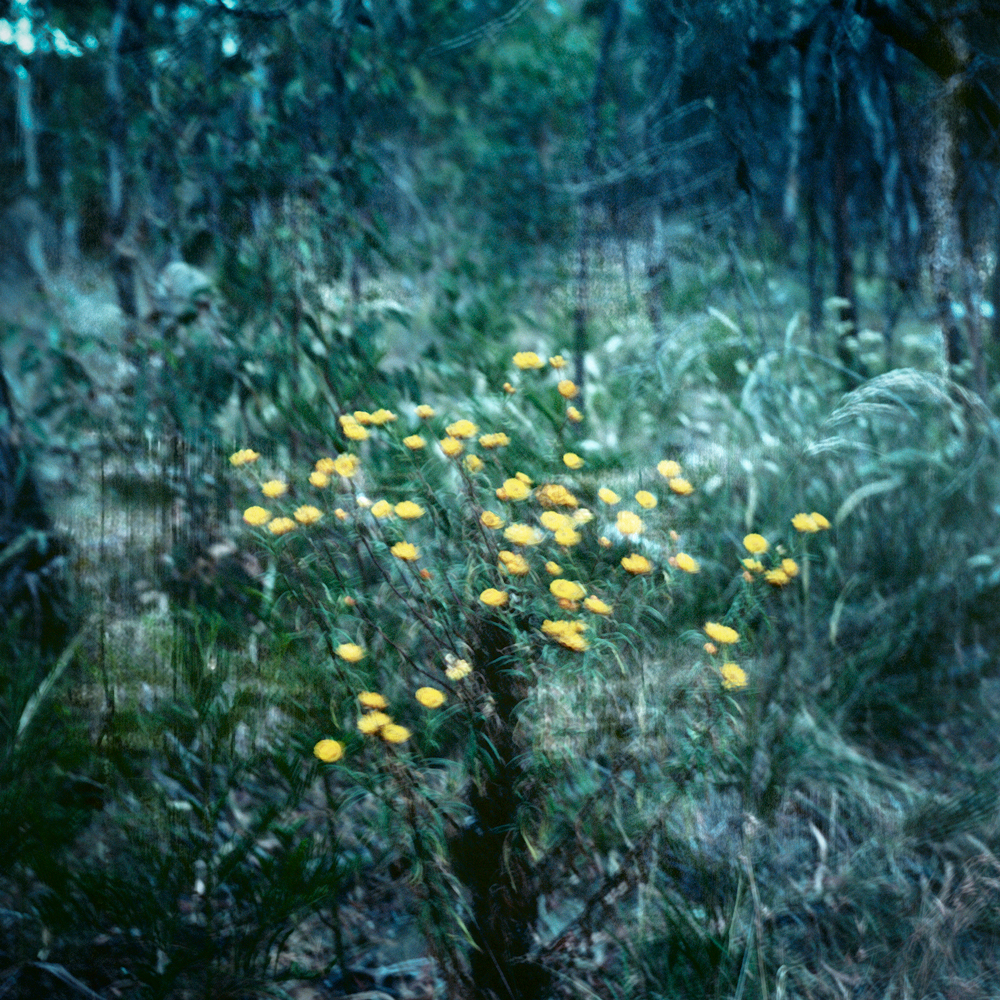 yellow-bush-flowers.jpg
