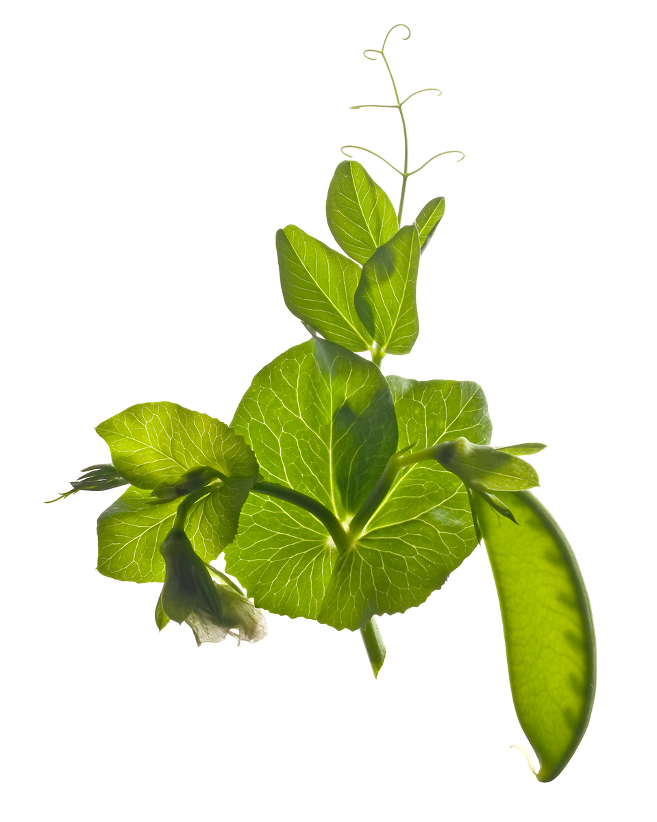 Snow-pea-on-vine.jpg