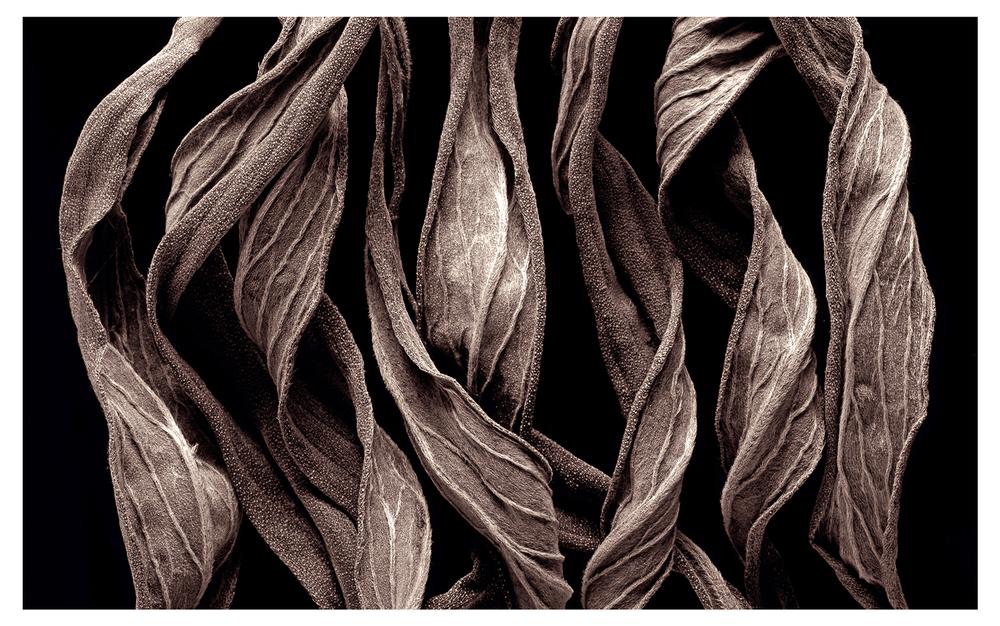 Echium-N0.1.jpg