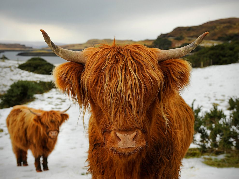 highland cow photo