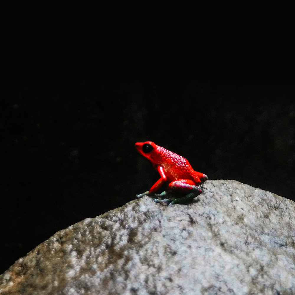 uvita-costa-rica-wander-south-rapelling-poison-red-frog.jpg