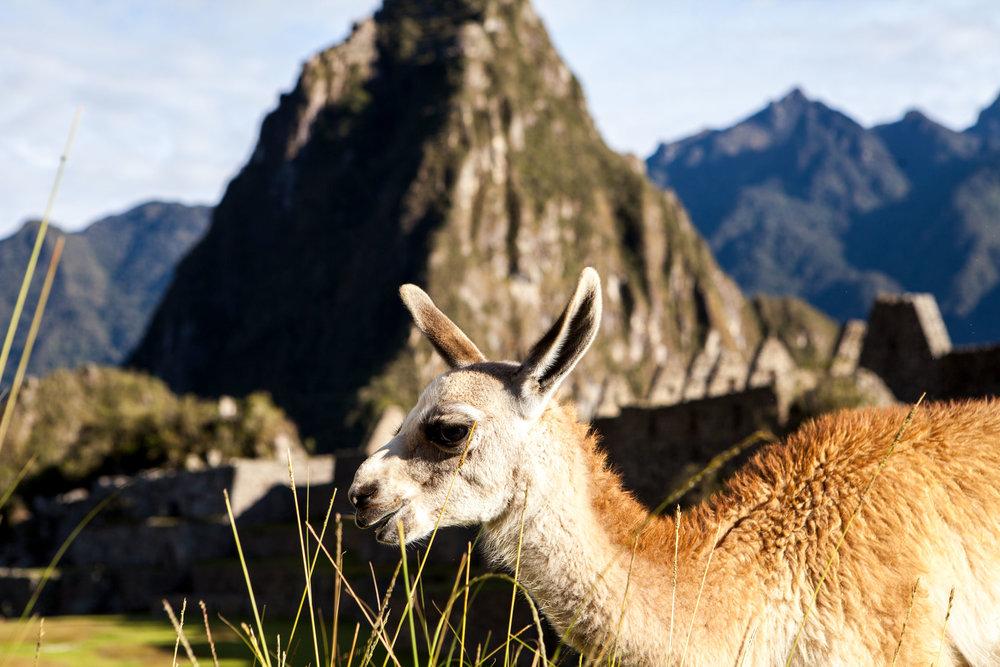 Machu-Picchu-Peru-wander-south-aguas-calientes-llama-huaynapicchu.jpg