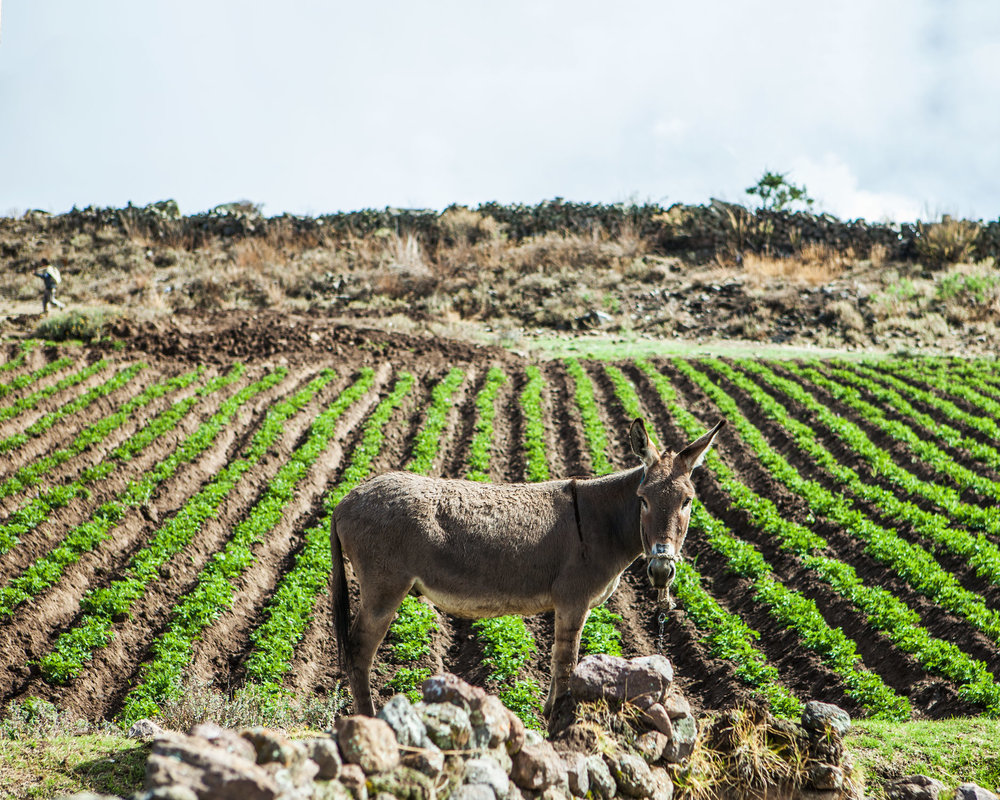 colca-canyon-peru-wander-south-hike-donkey.jpg