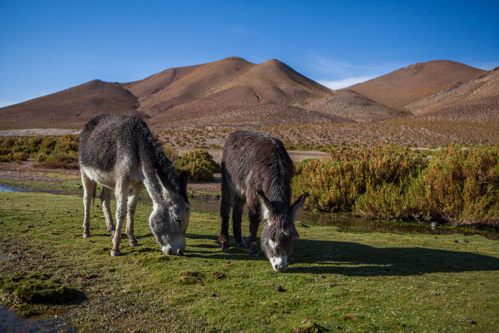 atacama-desert-chile-wander-south-animals-donkey-1.jpg