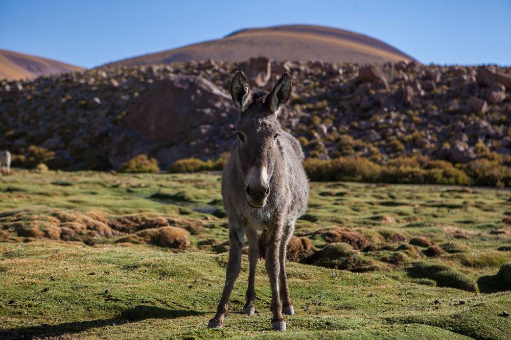 atacama-desert-chile-wander-south-animals-donkey-3.jpg