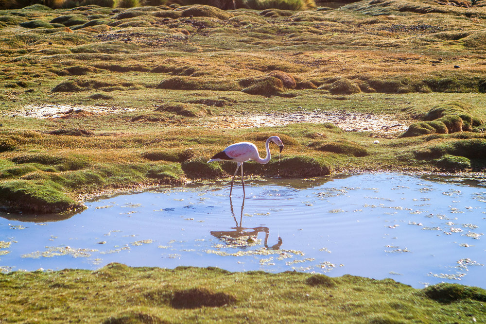 atacama-desert-chile-wander-south-animals-flamingo-1.jpg