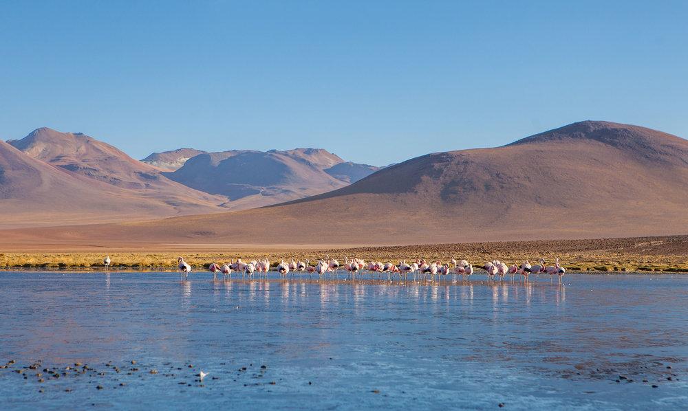 atacama-desert-chile-wander-south-animals-flamingo-3.jpg