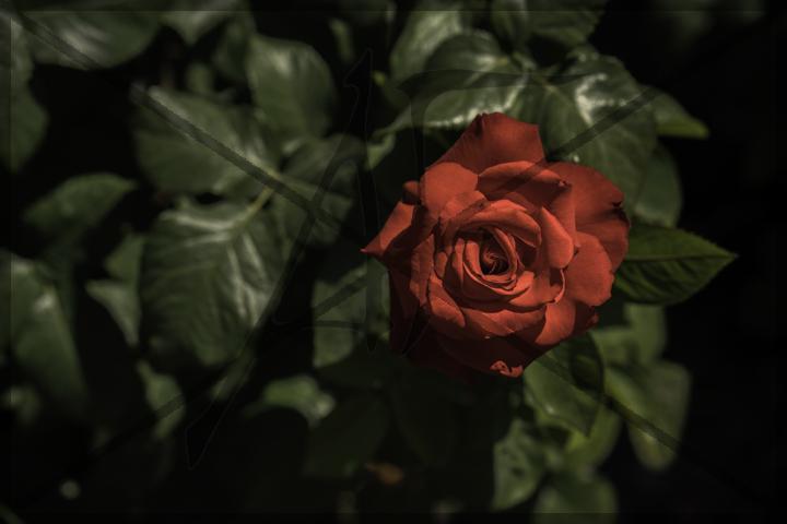 Rose Garden - July 2016: Portland, OR