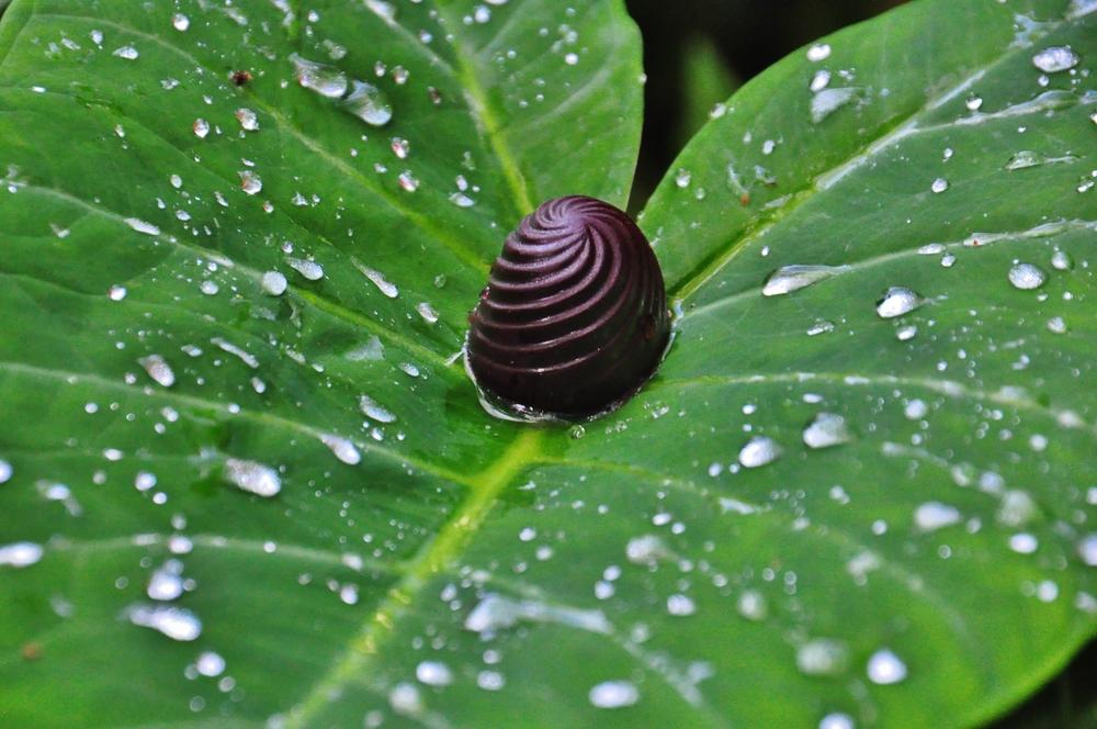 Kilikina raindrops hazel.jpg