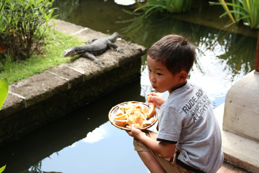 Tempting the komodo dragon with a plate of bread.