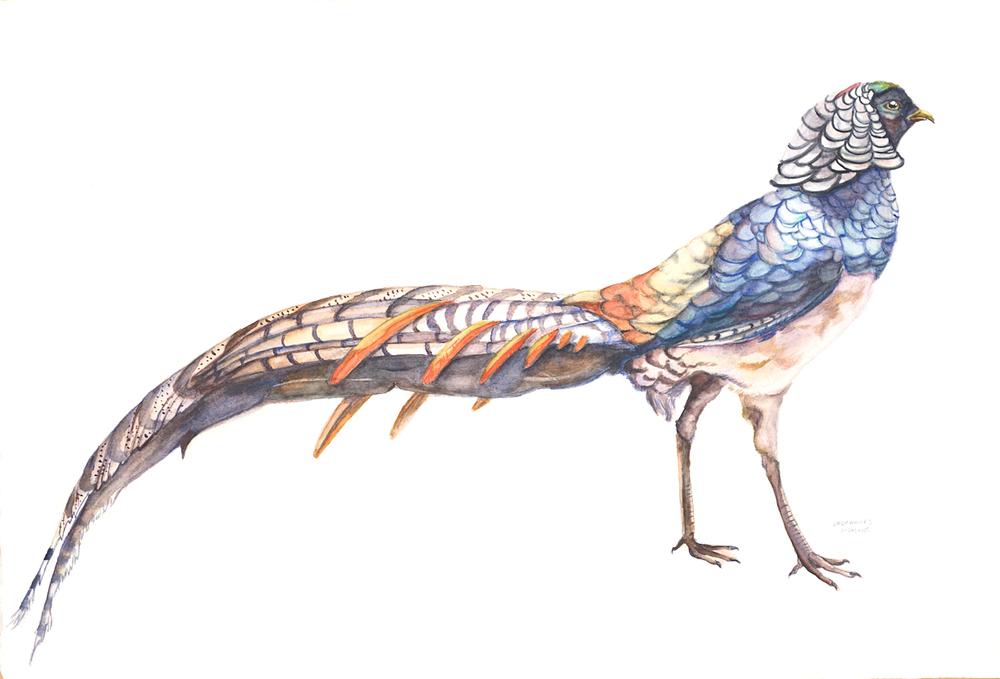 Lady Amherst Pheasant