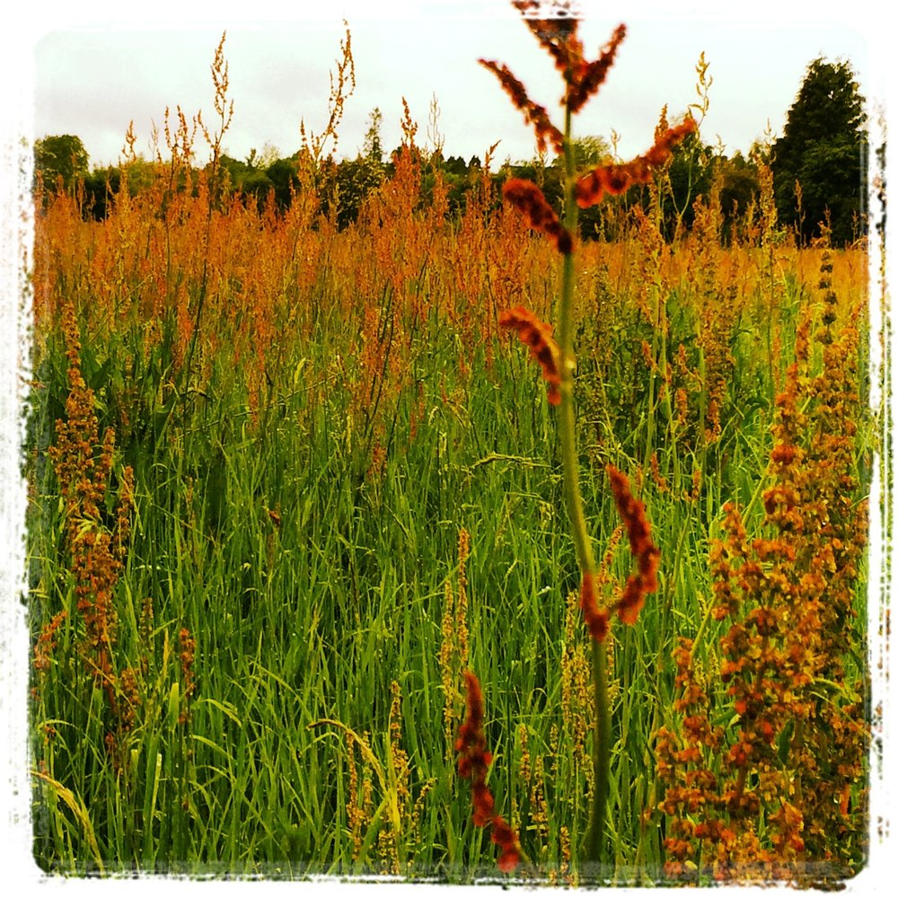 Summer grasses on The Bishop's Meadow, Farnham