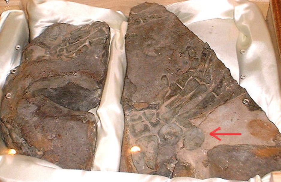 The pisiforms on the fossil are circular and protrude