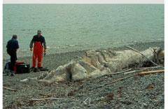 The Newfoundland Blob.