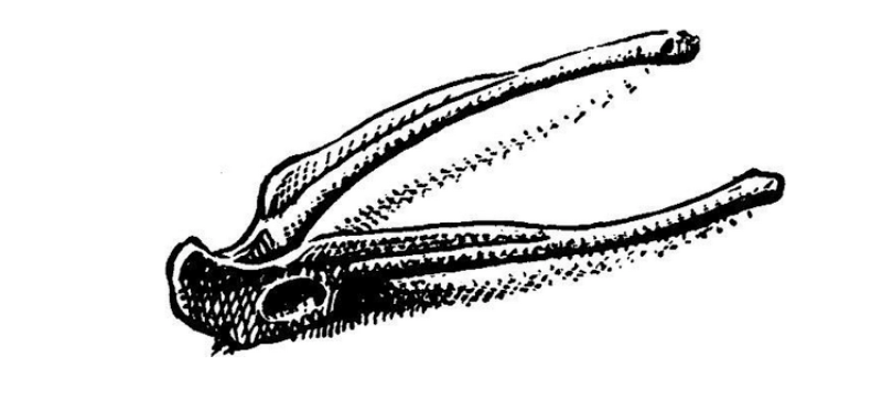 The Ilium bone in a frog's pelvic girdle.