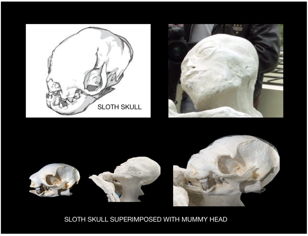 Figure 6: The shape of the dome on the mummies skull almost perfectly matches a sloths skull.