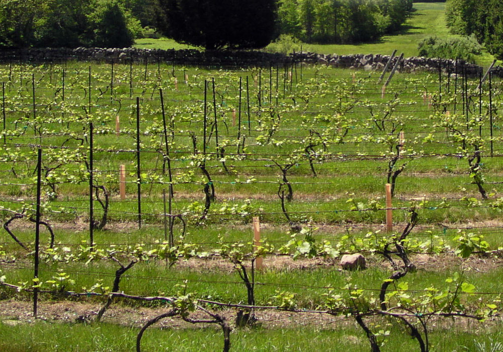 slt fusina new site vineyard 1.jpg