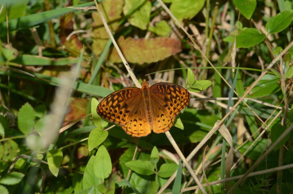 Great Spangle Fritillary Butterfly